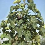 Investigan nuevas técnicas de riego para producir un árbol bioenergético en suelos áridos