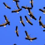 SEO/BirdLife busca datos para descubrir alteraciones migratorias de la cigüeña blanca por el cambio climático